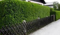 Лучшие растения для живой изгороди