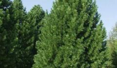 Дерево кедр: описание, фото и выращивание