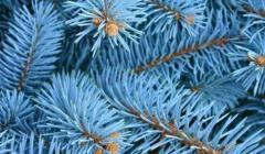 Как вырастить голубую ель из черенка в домашних условиях