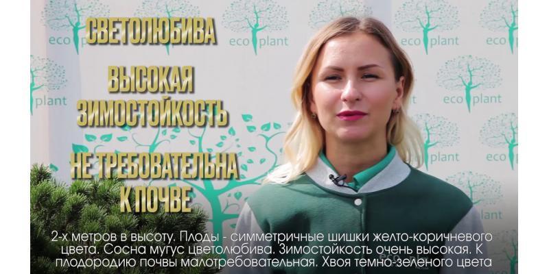 Энциклопедия - Сосна мугус