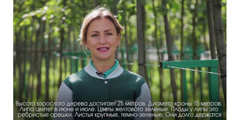Энциклопедия - Липа