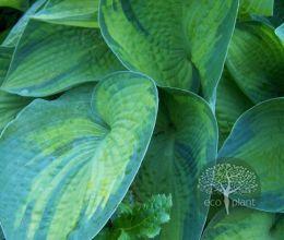 Хоста гибридная (зеленолистная)