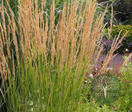 Вейник остроцветковый 'Овердам'