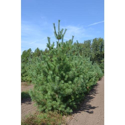 Фото товара Сосна веймутова Pinus strobus - вид 1