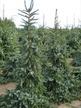 Фото товара Ель сербская Picea omorika - вид 1