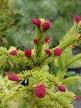 Фото товара Ель обыкновенная Круента (Cruenta) - вид 1