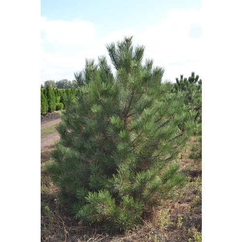 Фото товара Сосна черная Pinus nigra - вид 1